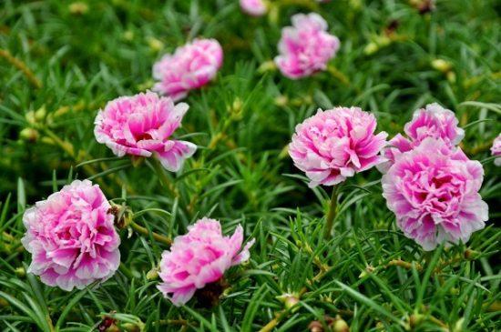 Ý nghĩa của hoa mười giờ - tình yêu trong trẻo