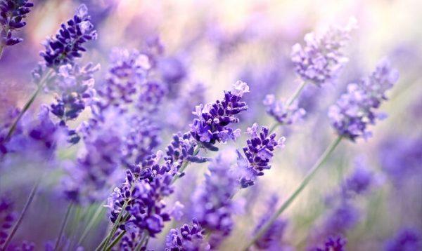 Ý nghĩa của hoa oải hương – loài hoa bình yên