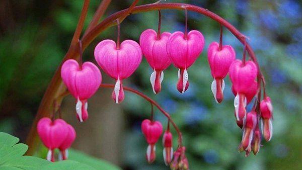 Ý nghĩa hoa tigon – biểu tượng của trái tim tan vỡ