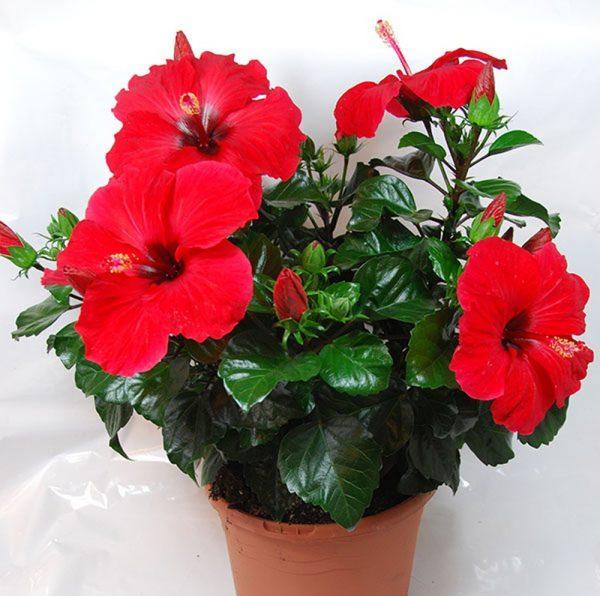Các loại hoa dâm bụt phổ biến dễ trồng