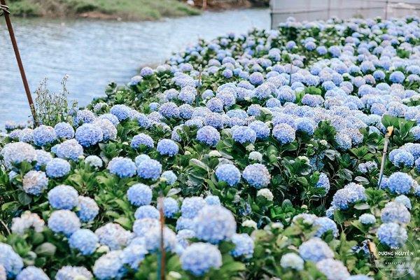 Tặng hoa cẩm tú cầu có ý nghĩa gì