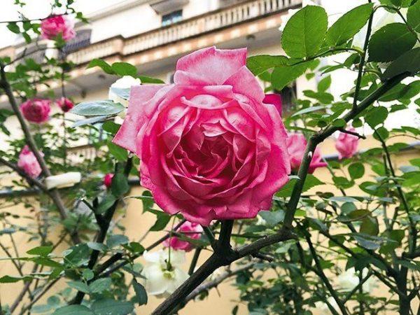 Các loại hoa trồng lâu năm thích hợp trồng trước nhà