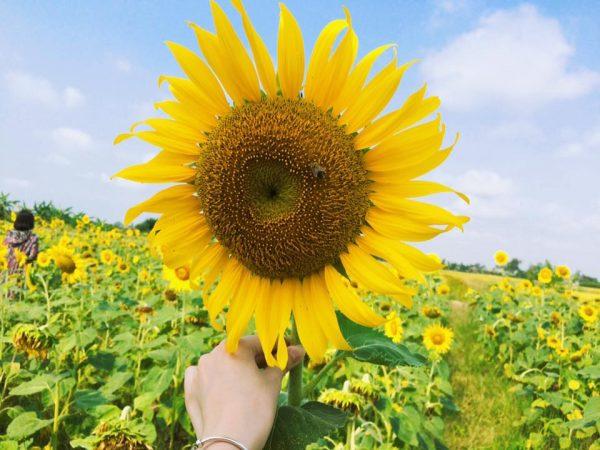 Cách bó hoa hướng dương đơn giản độc đáo
