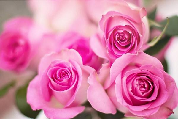 Hoa hồng phấn có ý nghĩa gì? Bạn đã biết chưa?