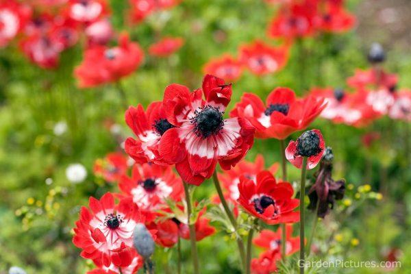 Ý nghĩa của hoa thu mẫu đơn – loài hoa mang vẻ đẹp tinh tế