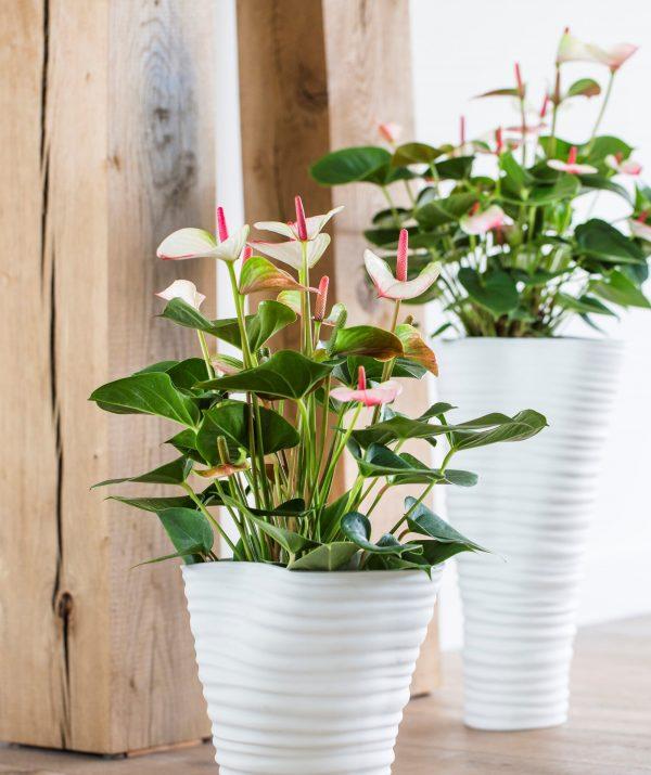 4 loại hoa để bàn phù hợp với người mệnh Thổ