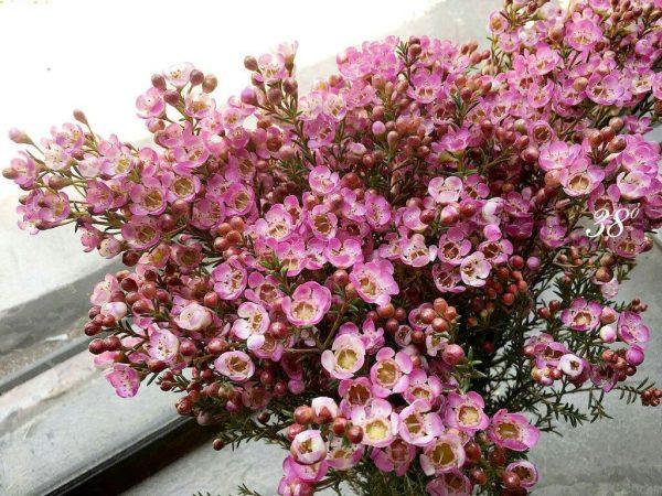 Hoa dành cho cung Cự Giải phù hợp ý nghĩa nhất