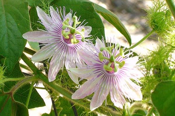 Gợi ý hoa dành cho cung Bò Cạp phù hợp và ý nghĩa nhất