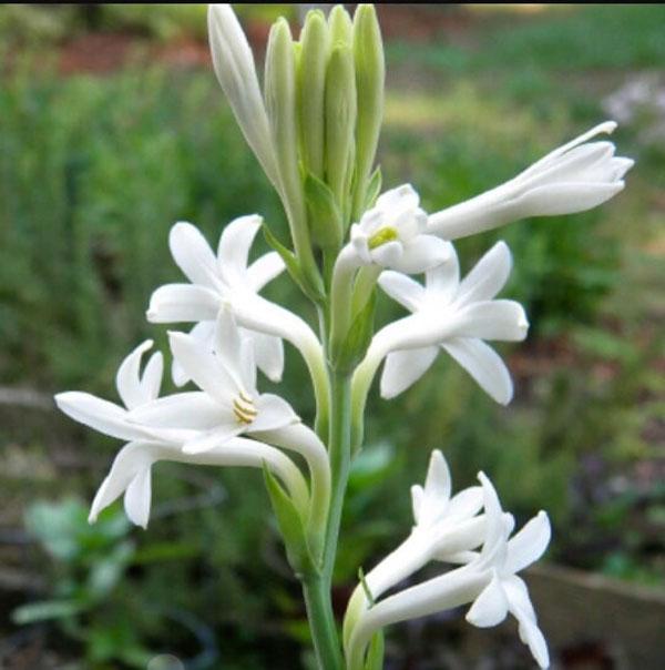 Cách cắm hoa huệ trắng đẹp đơn giản cho người mới