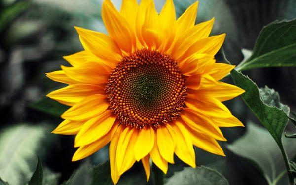 Hoa hướng dương là quốc hoa của nước nào?