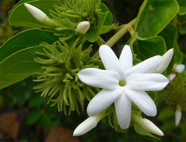 các loài hoa màu trắng nhỏ thơm - hoa nhài