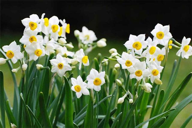 các loài hoa màu trắng nhỏ thơm - hoa thủy tiên